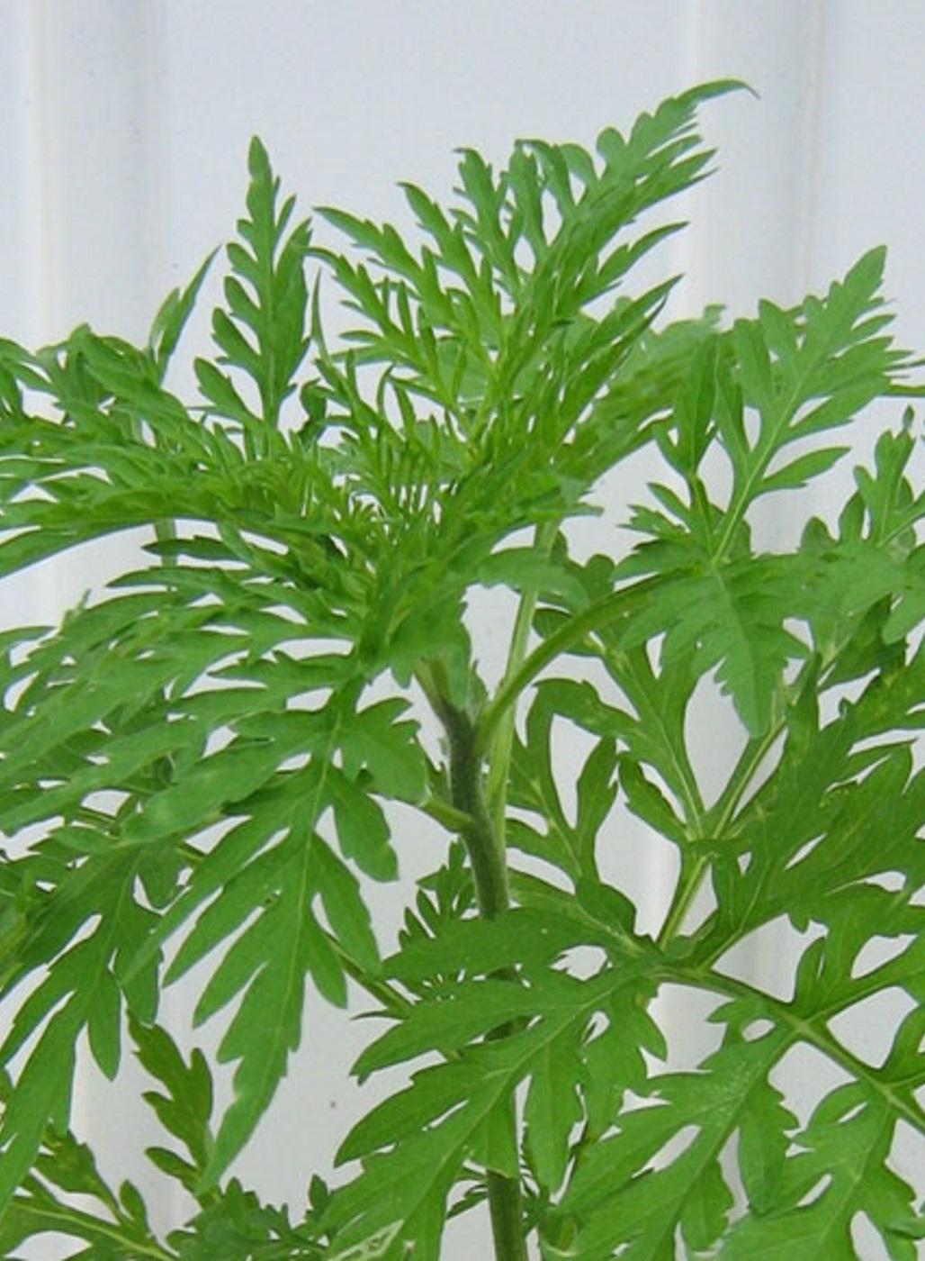 Beifuß-Ambrosie-Pflanze.