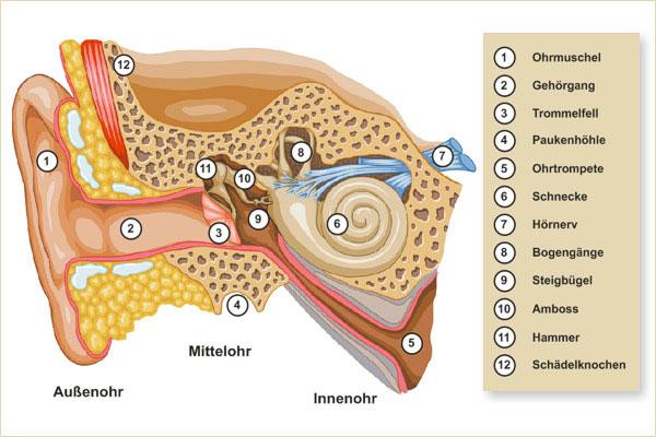 Querschnitt durch das menschliche Ohr